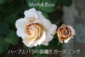 01-03-herb-rose.jpg