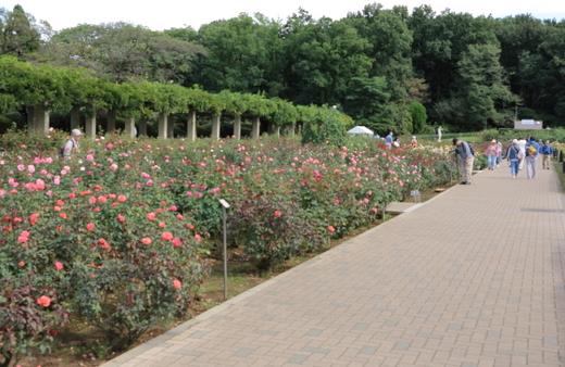 春の神代植物公園のバラ園にて