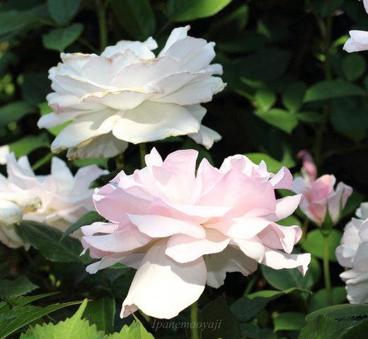 a-white-shade-0134.JPG