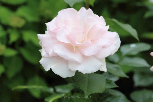 a-white-shade-0135.JPG