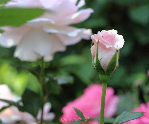 a-white-shade-0137.JPG