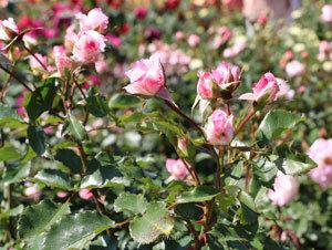 四季咲き性で数輪の房咲きになる