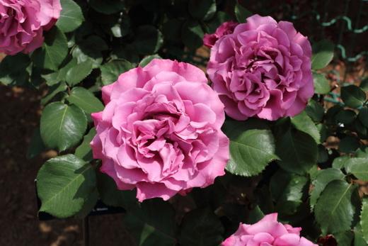 四季咲き性のバラ エンジェルフェイス