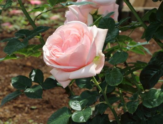 アフロディーテはロゼット咲きです