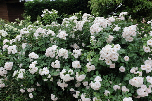 数輪の房咲きになり花つきがよいバラ