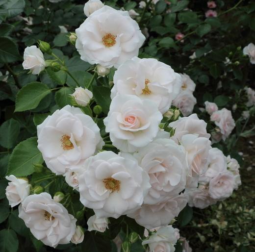 半剣弁平咲きの小輪花