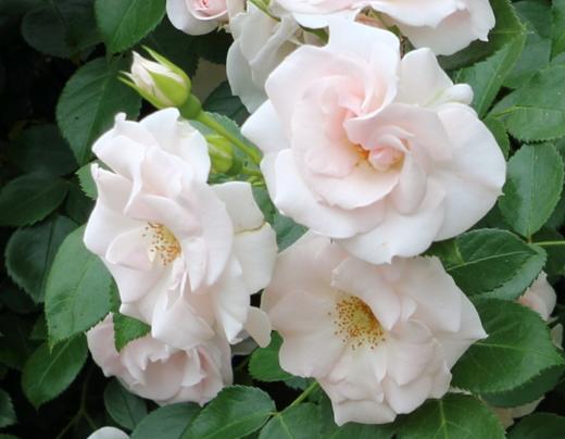 アスピリン ローズはシュラブ樹形のバラ
