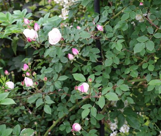 エアシャースプレンデンスは一季咲き
