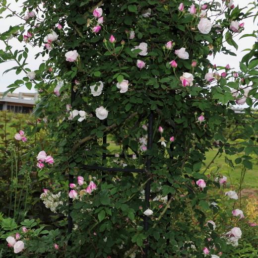 エアシャースプレンデンスの樹高は6m