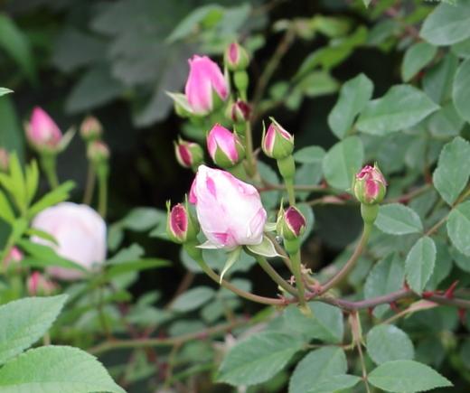 エアシャースプレンデンスの花径は6cm