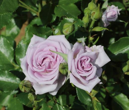 薔薇の海は四季咲き性です