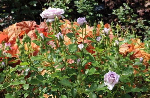 小輪サイズの剣弁高芯咲きのバラ