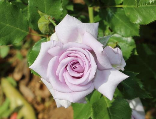 薔薇の海は樹高が約60cmです