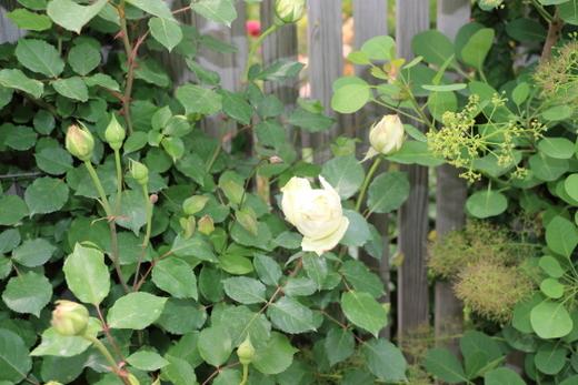 清楚な印象のシュラブ系統のバラ