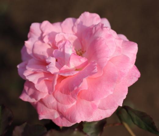 bridal-pink-7263.JPG