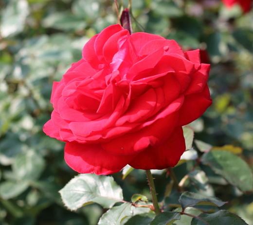 ハイブリッドティー系統の四季咲きのバラ