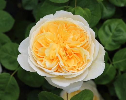 シャルロットはシュラブ系統のバラ