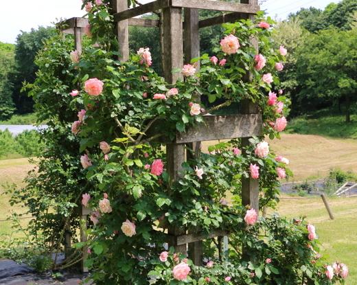 ピンク色の半剣弁高芯咲きのつるバラ