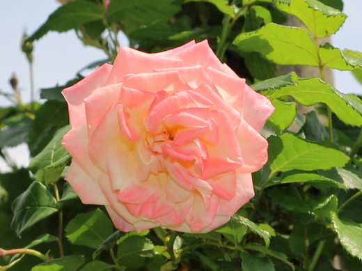 花弁数は17~25枚