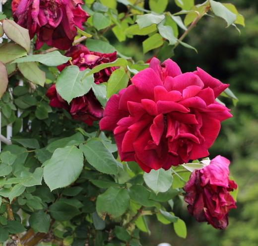 剣弁高芯咲きの整形花になります