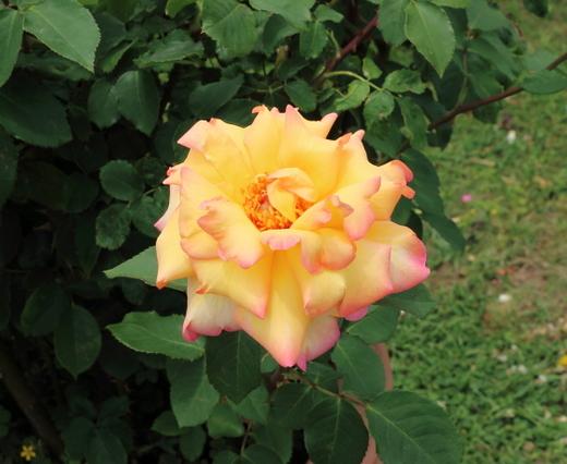 コッペリアはHT種のバラ