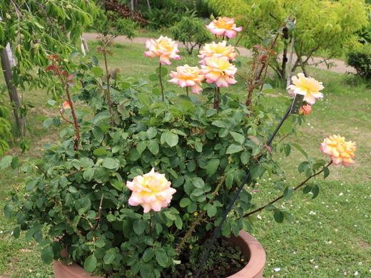 中輪四季咲き品種のコッペリア