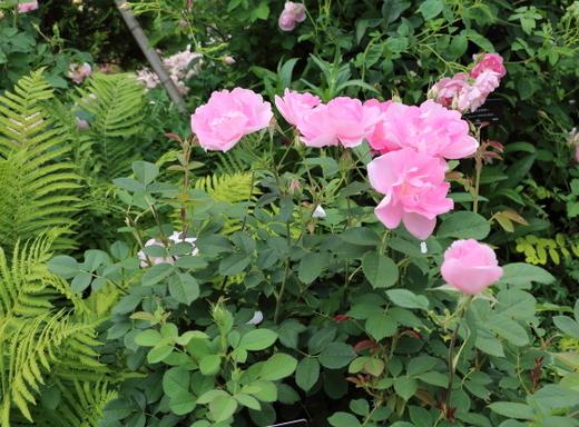 コーデリアはローズピンク色の花色です