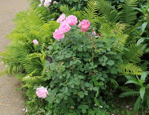 コーデリアは四季咲きです