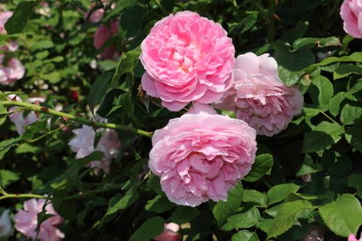 cottage-rose-0517.JPG