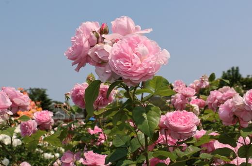 cottage-rose-0518.JPG