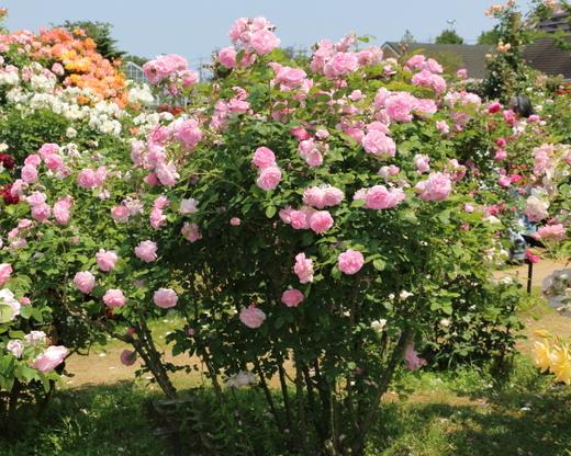 cottage-rose-0520.JPG