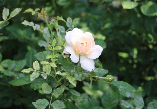crocus-rose-0207.JPG