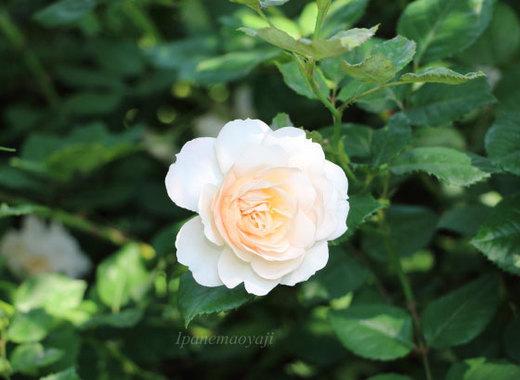 crocus-rose-0208.JPG