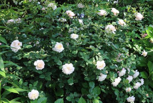 crocus-rose-0209.JPG