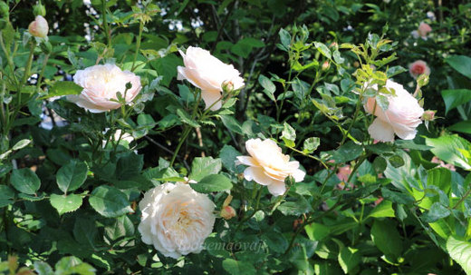 crocus-rose-0210.JPG