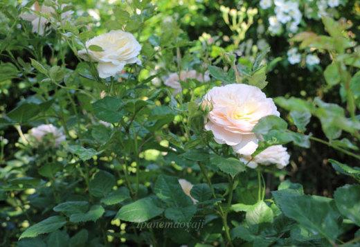 crocus-rose-0211.JPG