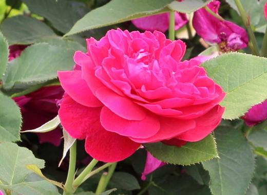 クリムゾンレッドの珍しい花色