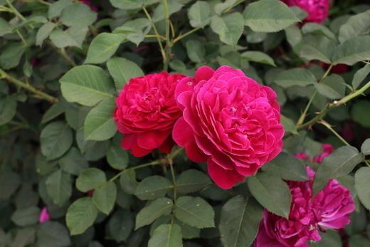 花形はロゼット咲きです