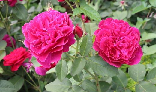 ダッシーバッセルはシュラブ系統のバラ