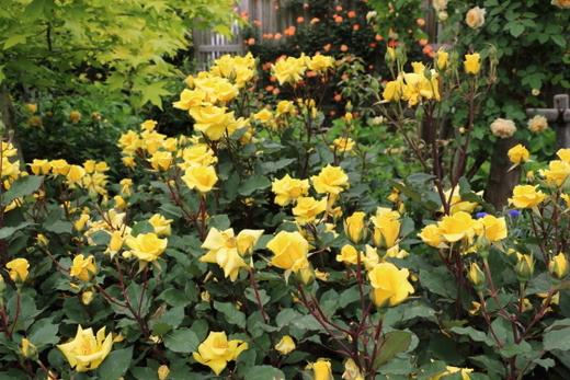 ハイブリッドティー系統の黄色いバラ