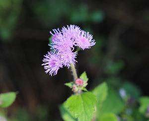 floss-flower-0071.jpg