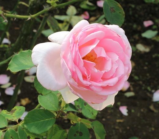 フレグラント・ヒルは大輪サイズのバラ
