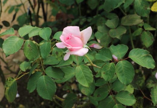 フレグラント・ヒルは剣弁高芯咲きです