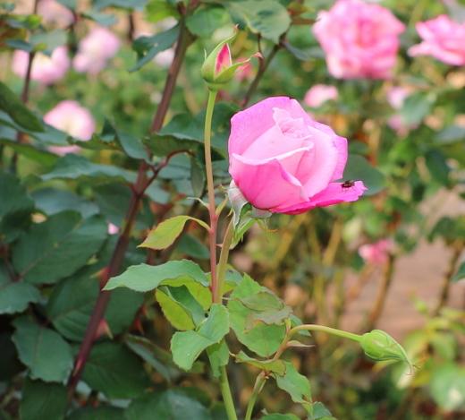 フレグラント・ヒルは四季咲き性です