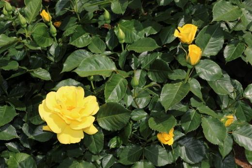 濃黄色の花は褪色しにくい