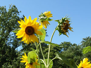 garden-sunflower-0084.jpg