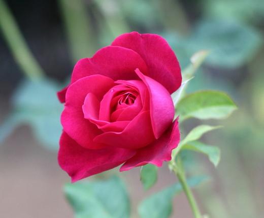 goethe-rose-8224.JPG