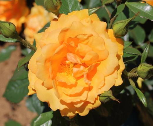 golden-beauty-9755.JPG