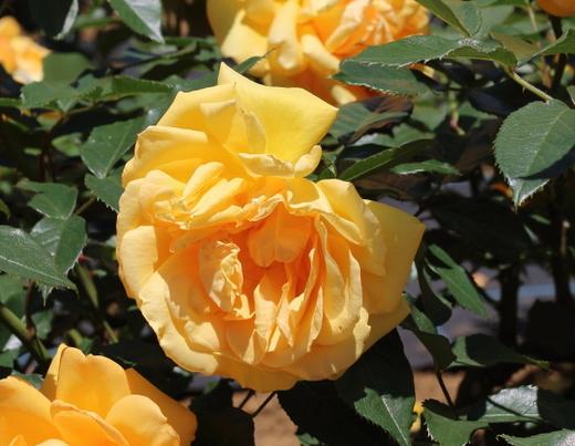 golden-beauty-9758.JPG