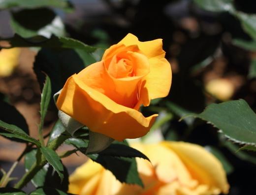 golden-beauty-9759.JPG